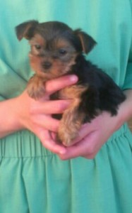 Elizabeth's new puppy, the first indoor dog for the Eicher household.