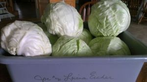 Lovina's cabbages did well this year. These heads were recently harvested from her garden.