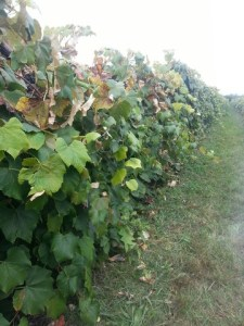 U-pick grape arbor