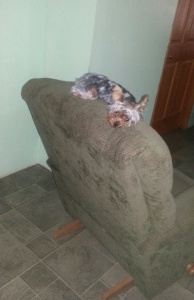 Izzy manages to sleep on the top of the recliner.