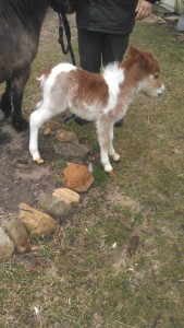 Susan's pony, Prancer, soon after he was born.