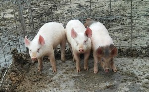 Lovina's son Kevin suggested naming their little pigs. His mother suggested otherwise.