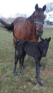 BlackBeautyFoal