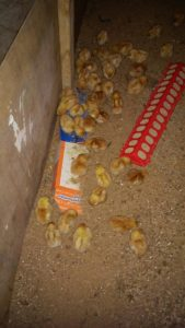 Lovina's family was excited to receive 42 baby chicks this week.