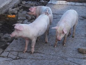 Three little pigs are great ways to get rid of excess garden produce.
